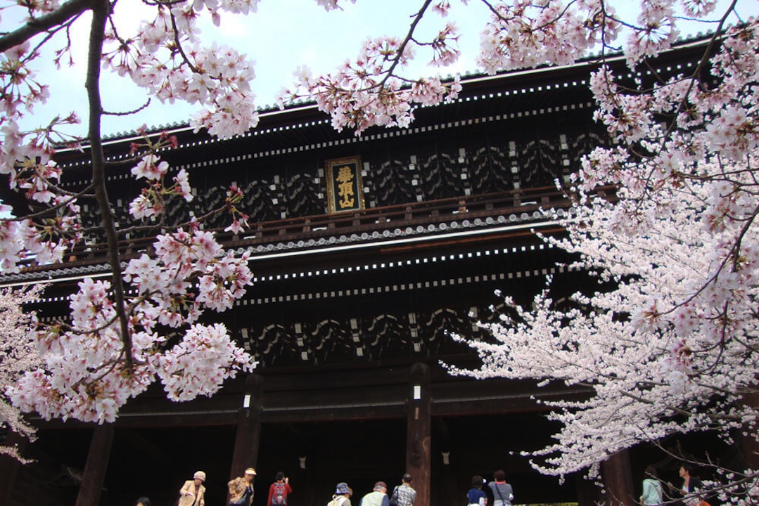 知恩院の桜