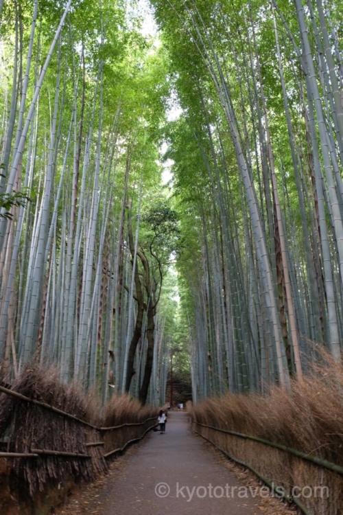 黄緑に輝く嵐山の竹林