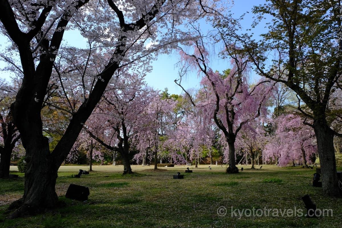 二条城の敷地にある桜